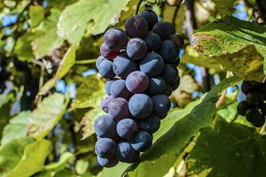 Vineyard autumn blue Grape