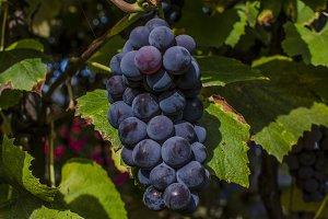 Vineyard summer Red Grape