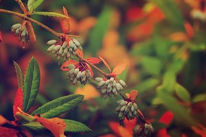 Berberis heteropoda fruits