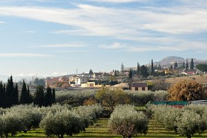 panoramic with olives and cypresses