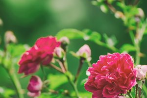 Red roses garden