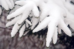 green pine branches covered