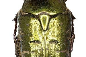 Chafer Beetle Protaetia