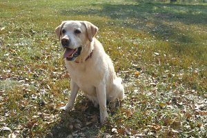 Dog breed labrador retriever