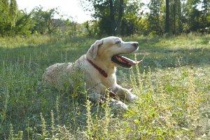 retriever lying on the green grass