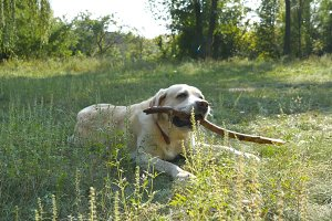 retriver eating wooden stick