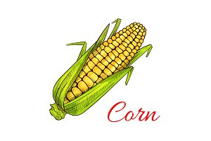 Corn cob vegetable vector sketch