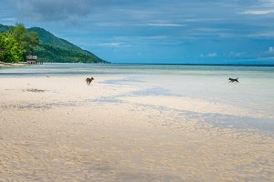 Dogs playing on the Beack near Water Hut of Homestay on Kri Island. Raja Ampat, Indonesia, West Papua