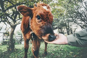 Cow calf eating from man hand