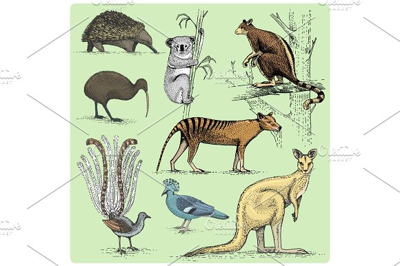 Set Of Australian Animals Engraved Hand Drawn Vector Illustration In Woodcut Scratchboard Style Vintage Drawing Species