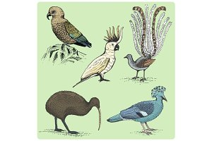 set of australian birds engraved, hand drawn vector illustration in woodcut scratchboard style, vintage drawing species.