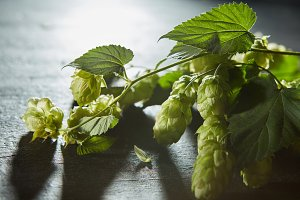 Hop cones and leaves. Fresh green background