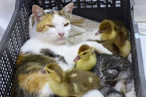 Cat foster mother for the ducklings