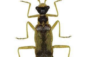 Soldier Beetle Malthinus