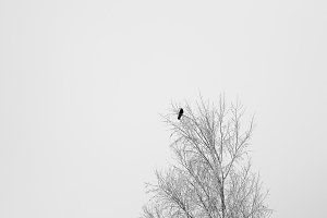 Black crow sitting on a tree branch at winter