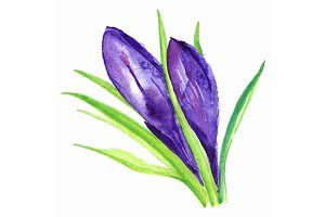 Watercolor hand drawn violet purple crocus flower isolated