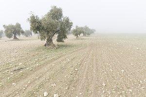 Landscape of olive trees