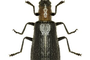 Chequered Beetle Tillus
