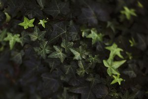 Blurred overhead shot of ivy pattern