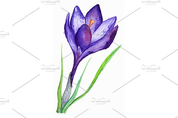 Watercolor Purple Crocus Vector