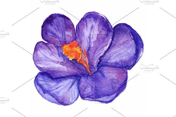 Watercolor Purple Crocus Vector