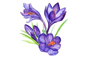 Watercolor crocus set vector
