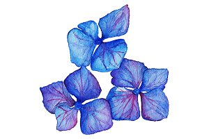 Watercolor hydrangea floral vector
