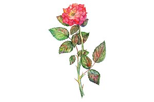 Watercolor pink shrub rose isolated
