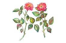 Watercolor pink rose set isolated