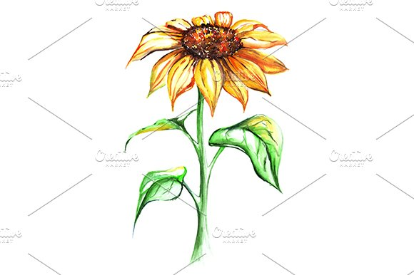 Watercolor Yellow Sunflower Isolated