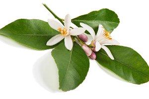 Twig of lemon tree