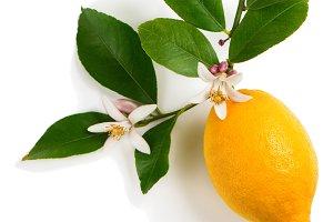 Lemon with blossom.