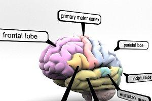 Brain Lobes Regions Educational