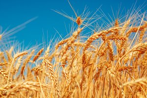 Gold wheat field and blue sky. Beautiful ripe harvest