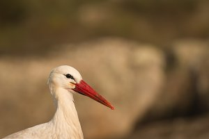 Elegant stork