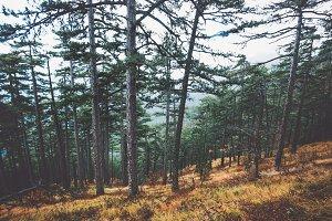 Coniferous Forest Landscape