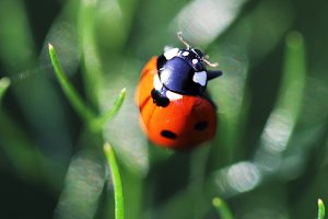 Ladybug on fennel leaves - full size
