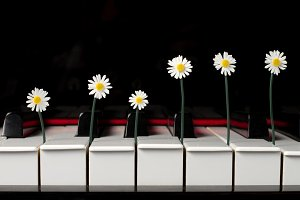 Daisies between the keys of a piano