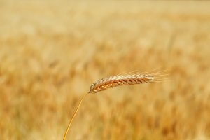 Beautiful ripe harvest gold spikelets wheat field