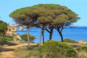 Pine trees on ocean shore.