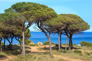 Pine trees on ocean shore.