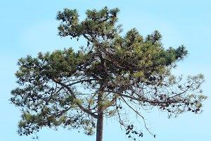 Pine trees top.