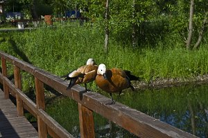 A pair of Ruddy Shelducks.