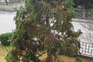 pruned fir tree