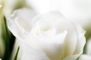 Closeup of white rose, macro