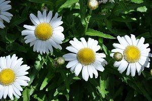 daisies in the garden