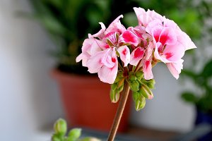 geranium flower outdoor