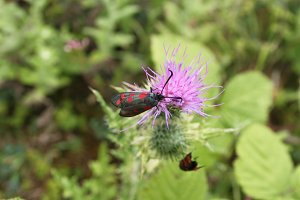 Cinnabar moths on thistle