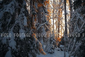 sunset in deep winter spruce forest