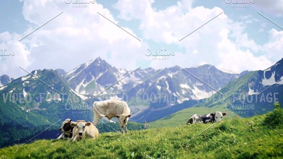 cow herd grazing and lying on spring hill top on background of High Snowy Mountains and clouds